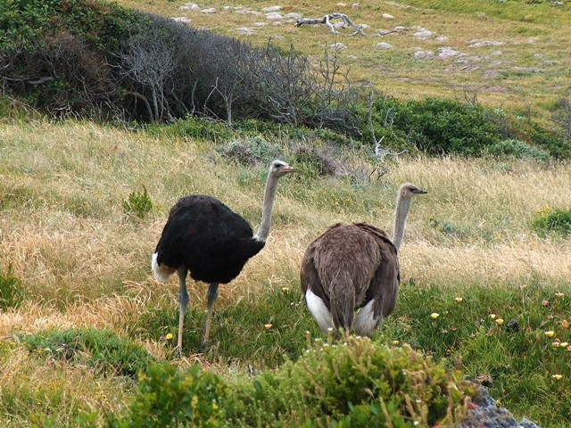 Ostriches_cape_point